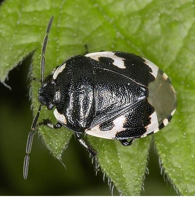 Chinches, pulgones y cigarras; cydnidae sehirus bicolor