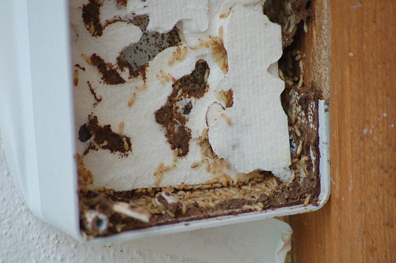 Tratamientos termita y carcoma for Carcoma o termitas
