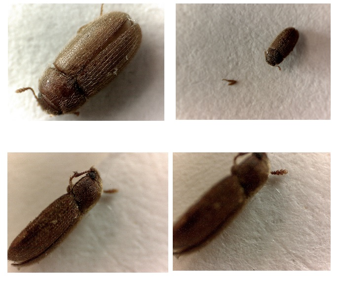 Gorgojo peludo de los hongos