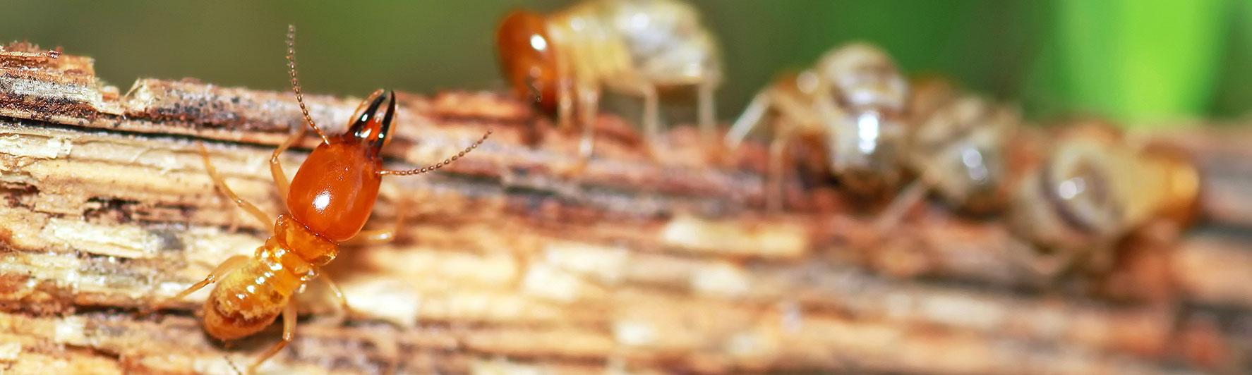 como eliminar termitas madera