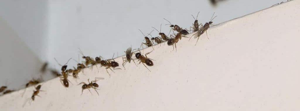 eliminación hormigas viviendas AMBIENTE CERO Zaragoza