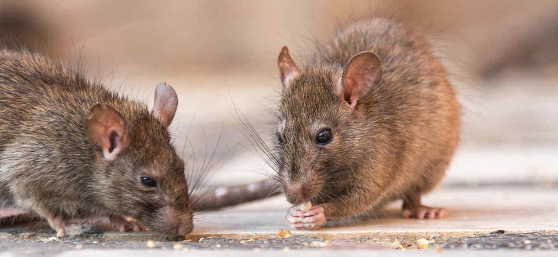 eliminar plagas roedores Zaragoza