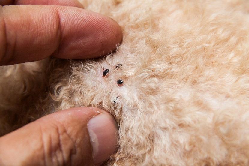 eliminar pulgas mascotas AMBIENTE CERO Zaragoza