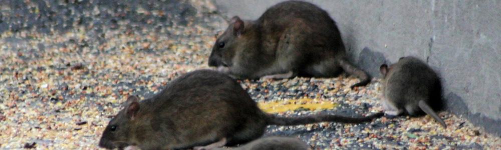 exterminar ratas restaurantes bares AMBIENTE CERO Zaragoza