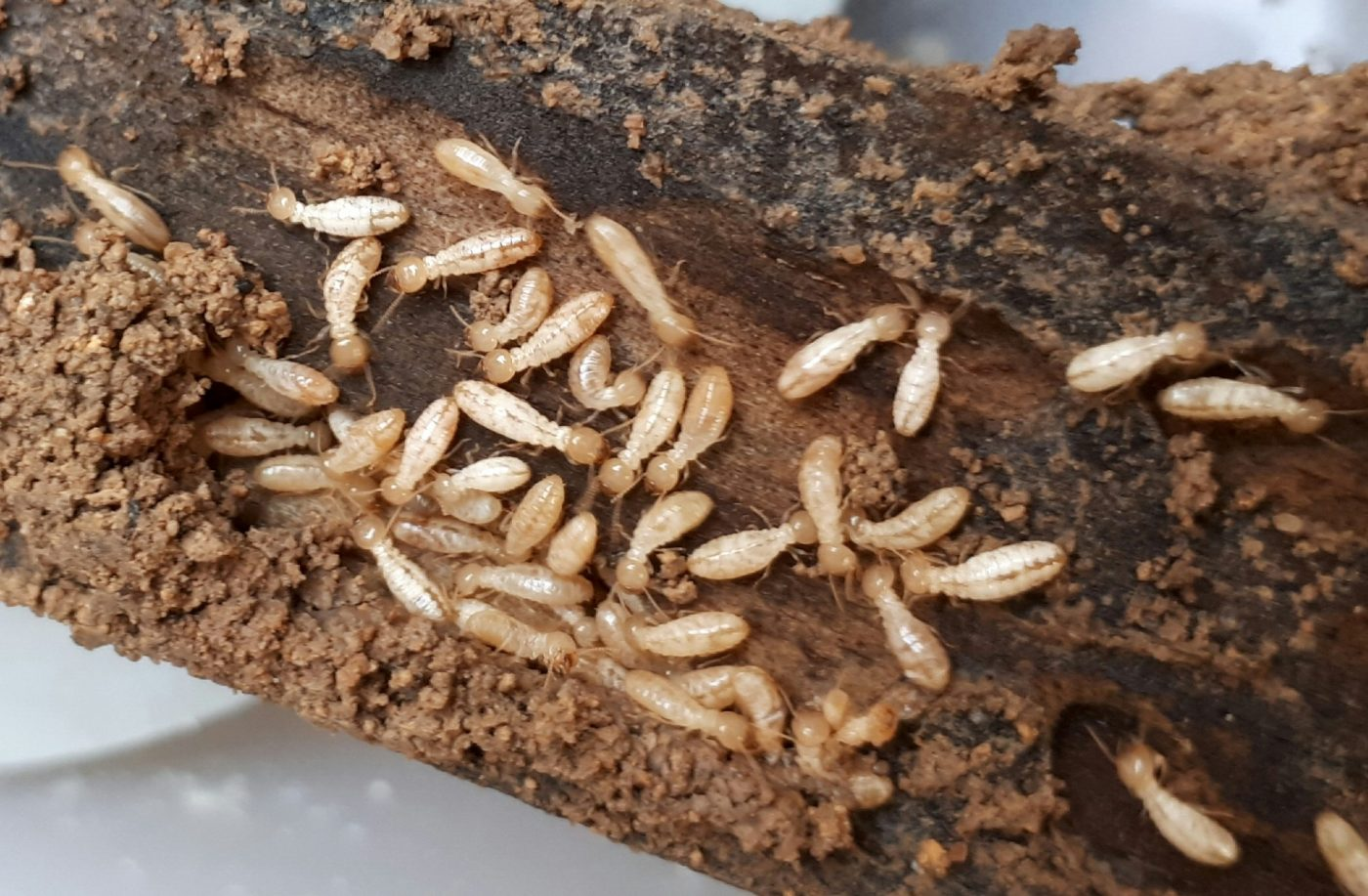 termitas inmuebles Zaragoza Ambiente Cero